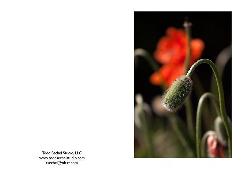"05102012_7875 - ""Poppies"" - Schoepfle Garden - Birmingham, Ohio"