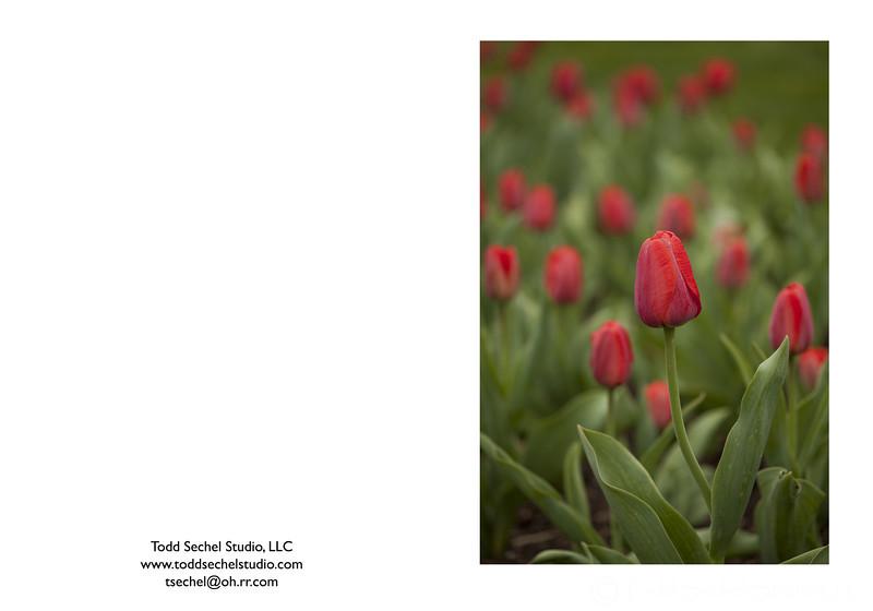 04022012_2623 Red Tulips - Schoepfle Garden - Birmingham, Ohio