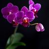 Orchid on black - 11x14 metal print