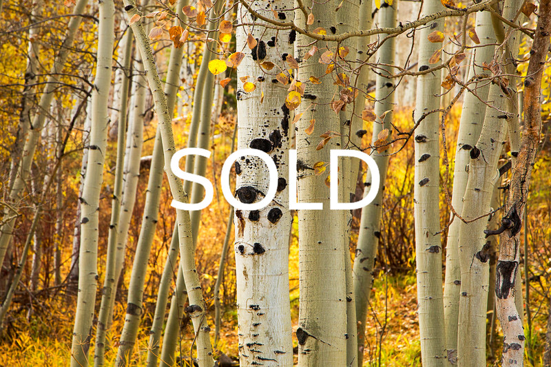 "**SOLD** (23)  - Aspen Trees - Vail, Colorado - 12"" x 18"" metal print (was $150) now $75"
