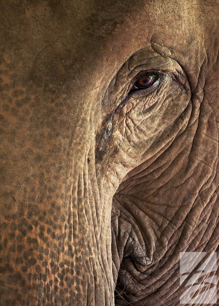 "(11) - ""Mina"" - Elephant - Chiang Rai, Thailand - 8.5"" x 11"" metal print (was $50) = now $25"