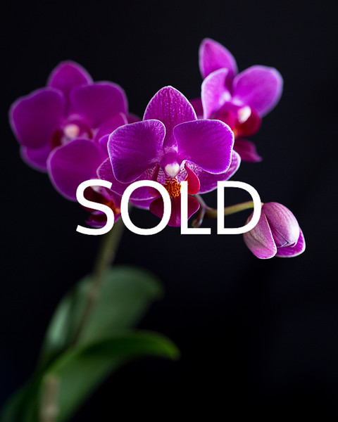 "**SOLD** (28)  - Orchids - 11"" x 14"" metal print (was $100) now = $50"