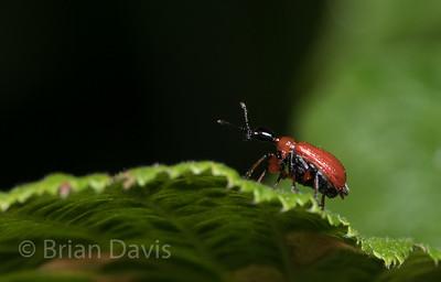 Hazel Leaf Roller Weevil 3