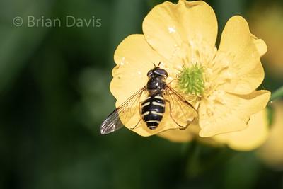 Hoverfly sp, Dasysyrphus venustus agg