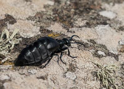 Velvet Oil Beetle