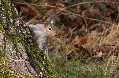 Grey Squirrel 5