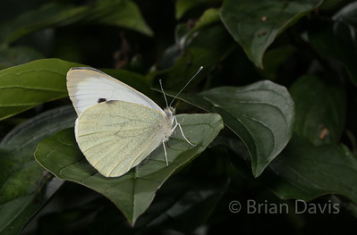 Large White butterfly 3
