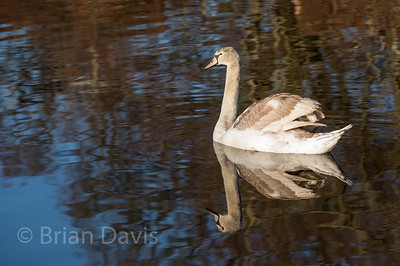 Mute Cygnet and reflection