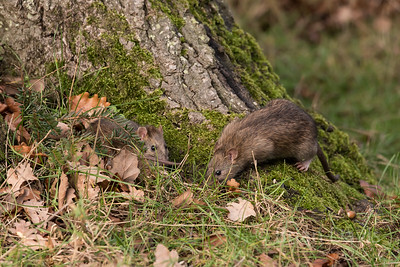 Young Brown Rats Scavenging