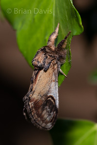 Pebble prominent moth