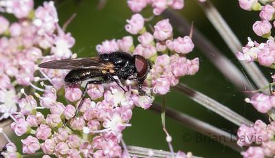 Hoverfly sp, Cheilosia Impressa