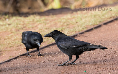 Carrion Crow 3