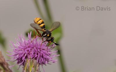 True Fly, Conops quadrifasciatus