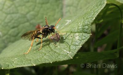 Figwort Sawfly,