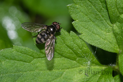 Hoverfly species, Portevinia maculata