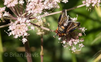 Fly sp, Phasia hemiptera