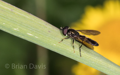 Hoverfly sp, Platycheirus rosarum 2