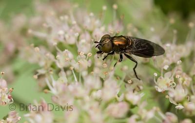 Hoverfly sp, Riponnensia splendens