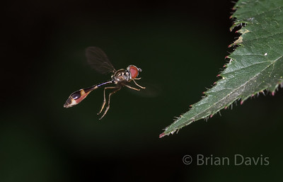 Hoverfly sp, Baccha elongata 3