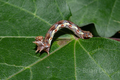 Mottled Umber moth caterpillar