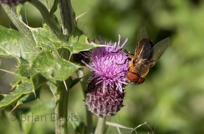 Fly sp, Phasia hemiptera 2