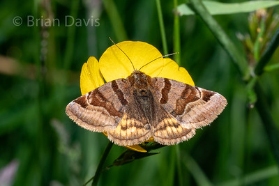 Burnet Companion Moth 2