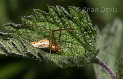 Spider sp, Long Jawed Orb Weaver.