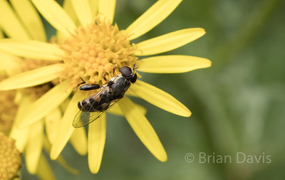 Hoverfly sp, Syritta pipiens 2
