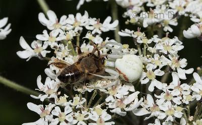 Crab Spider (Flower spider) with prey