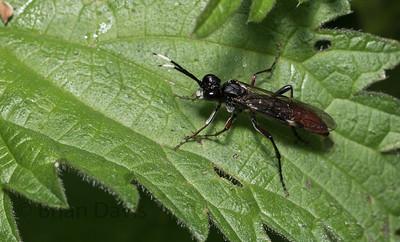 Sawfly sp,
