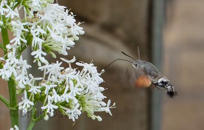 Hummingbird Hawk Moth .