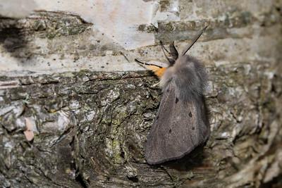 Muslin Ermine Moth 2