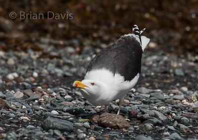Great Black Backed Gull 2