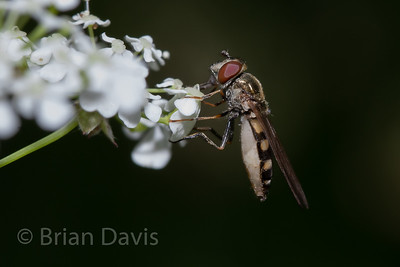 Hoverfly sp, Platycheirus tarsalis