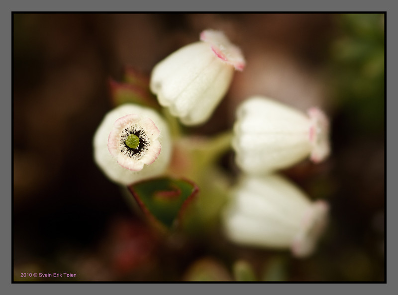 Heather flowers<br /> Bodø