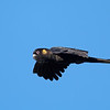 Yellow-tailed Black Cockatoo male (Calyptorhynchus funereus)