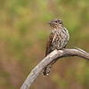 Brush Cuckoo juvenile(Cacomantis variolosus)