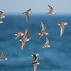 Curlew Sandpipers (Calidris ferruginea) and Red-necked Stints