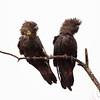 Glossy black cockatoos (Calyptorhynchus lathami)