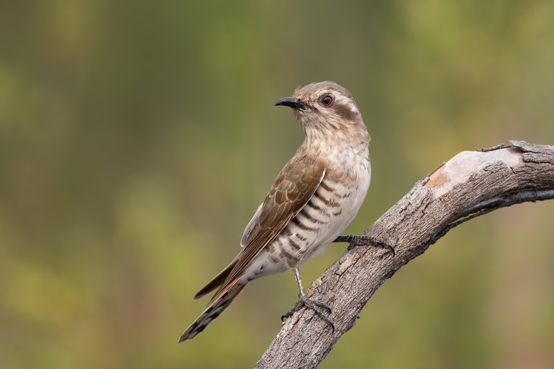 Horsfield's bronze cuckoo (Chrysococcyx basalis)
