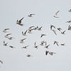 Little Terns (Sternula albifrons)