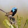 Variegated Fairy-wren male  (Malurus lamberti)