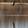 We were lucky enough to find this eagle fishing in a very shallow lake. Like the reflection here above the Bufflehead.