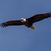 The nests were within 50 yards of each other and there were adult eagles flying everywhere.