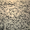 Easily 1,000 geese in this photo, and this is just a fraction of the sky when they got up. Anyone want to count them?