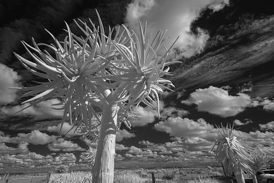 QuiverTree Forest, Keetmanshoop