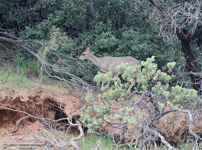 A deer forages through shrubs along the hillside of Bidwell Canyon Marina April 14, 2016 in Oroville, Ca. (Emily Bertolino -- Enterprise-Record)