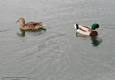 Two ducks swims around the dock at Bidwell Canyon Marina April 11, 2016 at Lake Oroville in Oroville, Calif. The male duck on the rights bright feathers will fade once mating season is over. (Emily Bertolino -- Enterprise-Record)