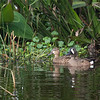 A pair of Blue-winged Teals