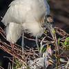 Wood Stork feeding young - Wako 3-22